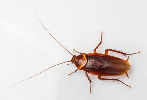 Canadian cockroach