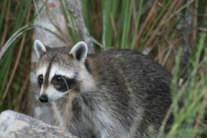 wildlife-Racoon